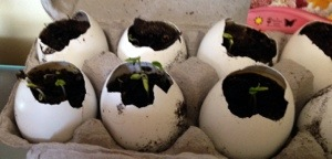 DIY: egg shell planters (5/6)